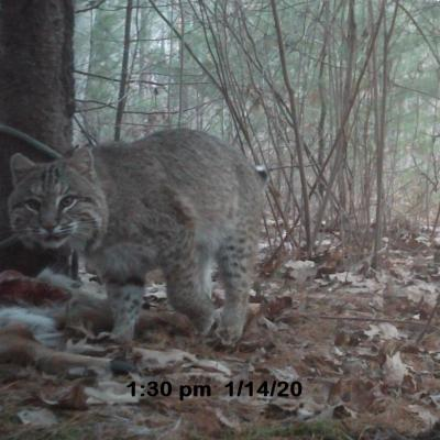 A bobcat in Berlin, photographed with an automatically triggered wildlife camera by Walter Bickford.