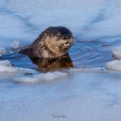A river otter at Fort Meadow Reservoir in Marlborough, photographed by Tami White.