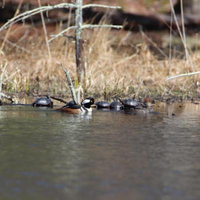 Hooded mergansers and painted turtles in Bolton, photographed by Jon Turner.