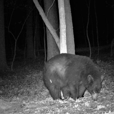 An American black bear in Harvard, photographed using an automatically triggered wildlife camera by Robin Right.