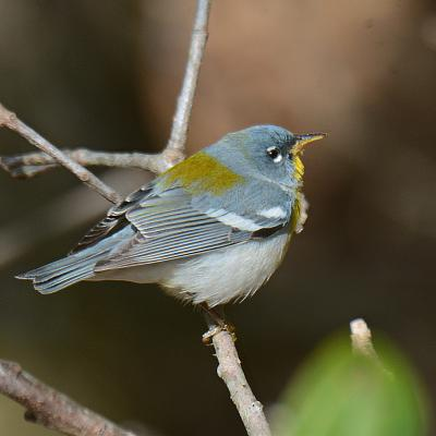 A northern parula in Natick, photographed by Greg Dysart.