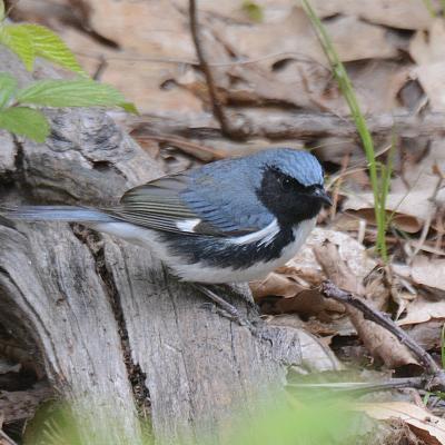 A black-throated blue warbler in Natick, photographed by Greg Dysart.