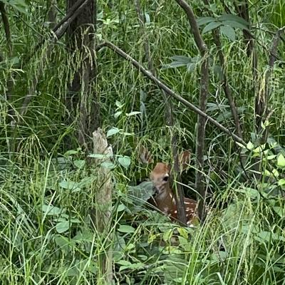 A white-tailed deer fawn along the Boroughs Loop Trail in Marlborough, photographed by Karin Paquin.