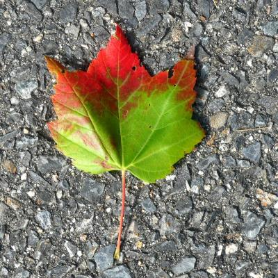 A colorful maple leaf in Lincoln, photographed by Harold McAleer.