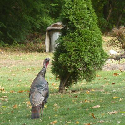 A turkey in Lincoln, photographed by Harold McAleer.