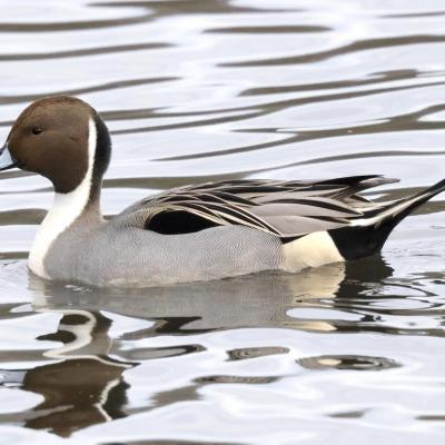 A northern pintail at Hager Pond in Marlborough, photographed by Steve Forman.