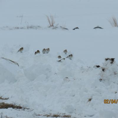 Snow buntings in Stow.