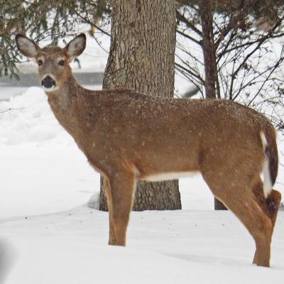 A white-tailed deer in Framingham, photographed by Joan Chasan.