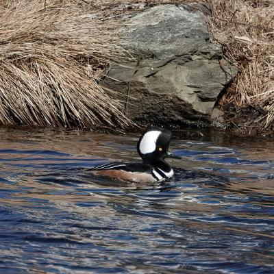 A hooded merganser along the Boroughs Loop Trail, photographed by Victoria Holland.