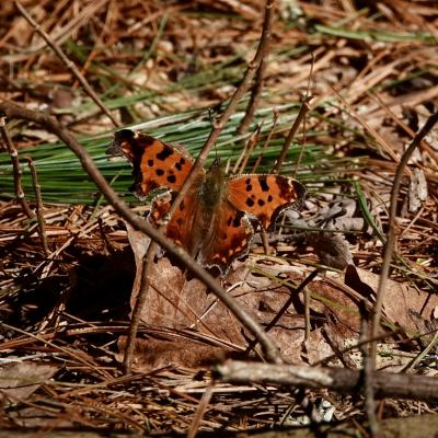 An eastern comma at SVT's Gray Reservation in Sudbury, photographed by Victoria Holland.