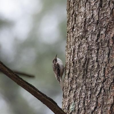 A brown creeper at SVT's Lyons-Cutler Reservation in Sudbury, photographed by Jon Turner.