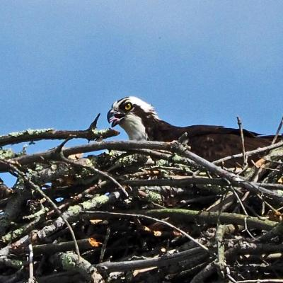 An osprey on a nest in Sudbury, photographed by Joan Chasan.