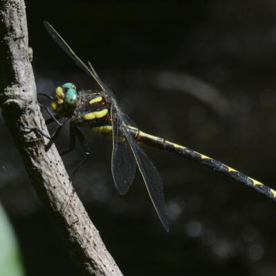 An arrowhead spiketail in Concord, photographed by Greg Dysart.