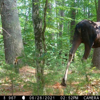 A moose in Boylston, photographed with an automatically triggered wildlife camera by Jim Makuc.