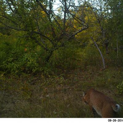 A bobcat in Harvard, photographed with an automatically triggered wildlife camera by Steve Cumming.