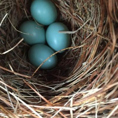 A Framingham nest box with a successful start tot he spring season, photograph by Pam Keeney.