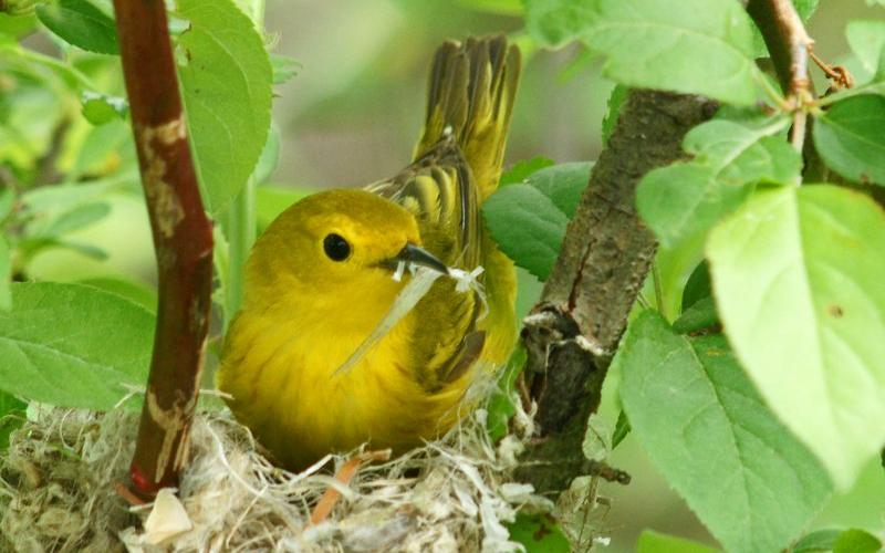 Yellow Warbler Nest. Photo by Joan Chasan