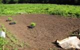 After the cardboard was removed, the plot was readied for planting.
