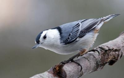 White-breasted nuthatch. Photo by Joan Chasan.