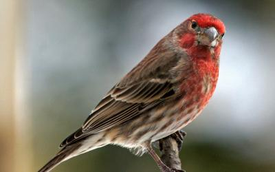House Finch. Photo by Joan Chasan.