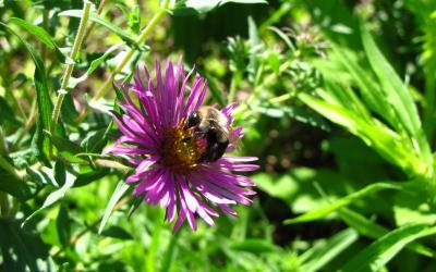 Common eastern bumblebee (Bombus impatiens) on a New England aster (Symphyotrichum novae-angliae). This flower was one of 1800 plugs planted at Greenways Conservation Area in June of 2015 as a part of ongoing restoration efforts there.
