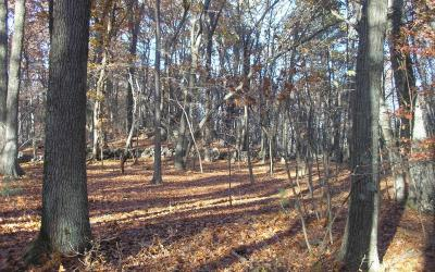 """There are no young, regenerating trees and many of our native plants and flowers have disappeared"", a view of deer impacts at Cowassock Woods."