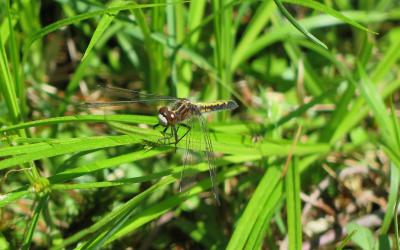 The white-face dot-tailed dragonfly was one of the species we encountered during the BioBlitz. Photo by Chris Menge