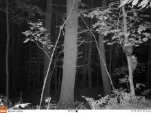 Raccoons in Stow, photographed using an automatically triggered wildlife camera by Steve Cumming.