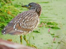 A black-crowned night heron in Concord, photographed by Craig Smith.