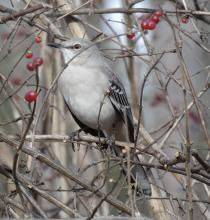 A northern mockingbird in Natick, photographed by Sharon Tentarelli.