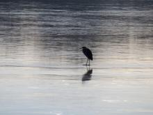 A great blue heron on the ice at Heard Pond in Wayland, photographed by Lisa Eggleston.