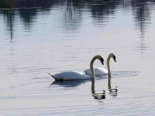 Mute swans on Heard Pond in Wayland, photographed by Lisa Eggleston.
