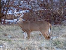 A white-tailed deer in Sudbury, photographed by Lisa Eggleston.
