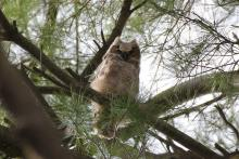 A great horned owlet at SVT's Lyons-Cutler Reservation in Sudbury, photographed by Barry Hausmann.