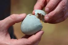 A great blue heron egg that had fallen from a nest after hatching at SVT's Lyons-Cutler Reservation in Sudbury, photographed by Barry Hausmann.