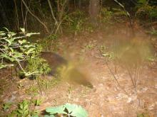 A fisher at SVT's Memorial Forest in Sudbury, photographed with an automatically triggered wildlife camera by Craig Smith.