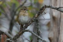 A Lincoln's sparrow in Wayland, photographed by Greg Dysart.