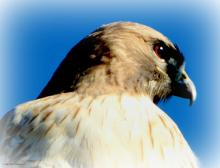 A red-tailed hawk in Southborough, photographed by Sandy Howard.