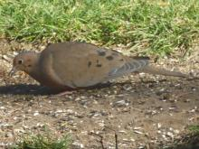 A mourning dove in Sudbury, photographed by Peg Espinola.