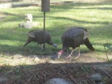 Turkeys in Sudbury, photographed by Peg Espinola.