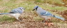 Blue jays in Framingham, photographed by Steve Forman.