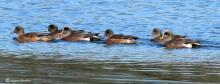 American wigeon on Carding Mill Pond in Sudbury, photographed by Mary Jane Sterling.
