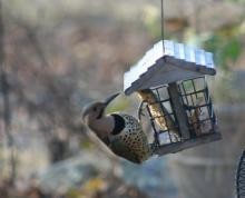 A northern flicker in Marlborough, photographed by Ginny Hutchison.