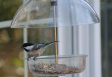 A black-capped chickadee in Marlborough, photographed by Ginny Hutchison.