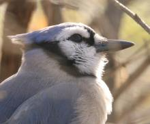 A blue jay at Hager Pond in Marlborough, photographed by Steve Forman.