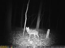 A coyote in Harvard, photographed by Robin Right.