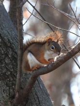 A red squirrel in Sudbury, photographed by Lisa Eggleston.