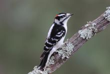 A male downy woodpecker in Sudbury, photographed by Sue Feldberg.