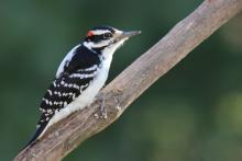 A hairy woodpecker in Sudbury, photographed by Sue Feldberg.