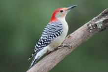 A red-bellied woodpecker in Sudbury, photographed by Sue Feldberg.